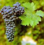 Cabernet Suavignon grapes